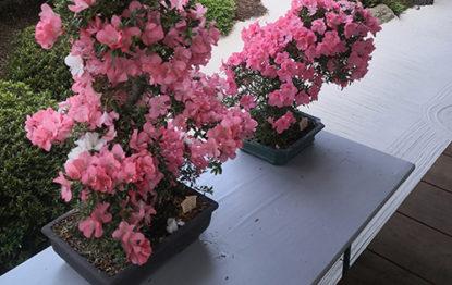 Azaalen im botanischen Garten